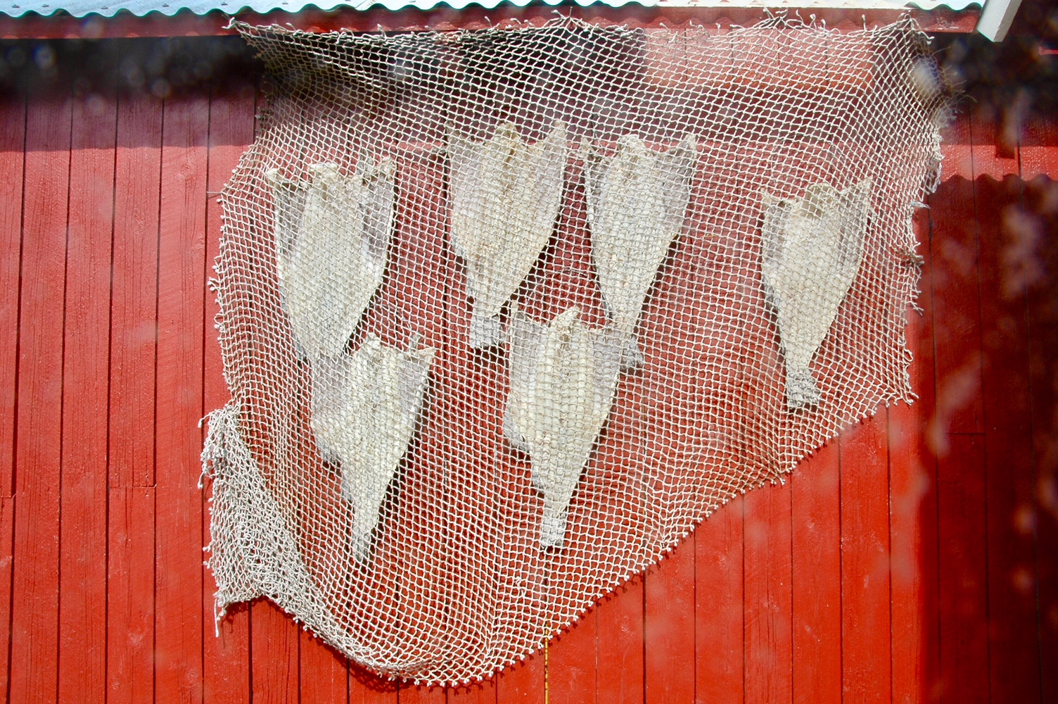 Stoccafissi stesi a essiccare (foto di Germana Cabrelle)