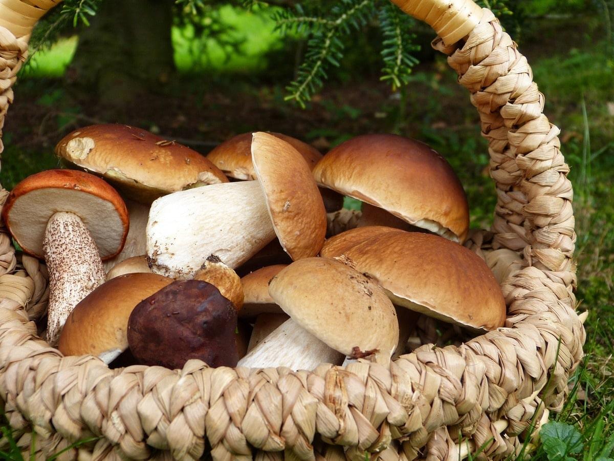 funghi porcini monti cimini