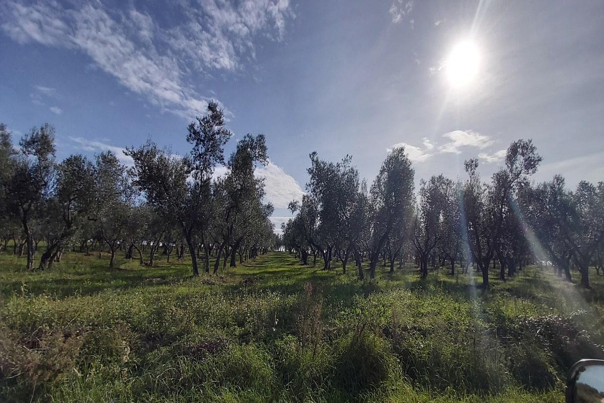 prodotti della tuscia olive