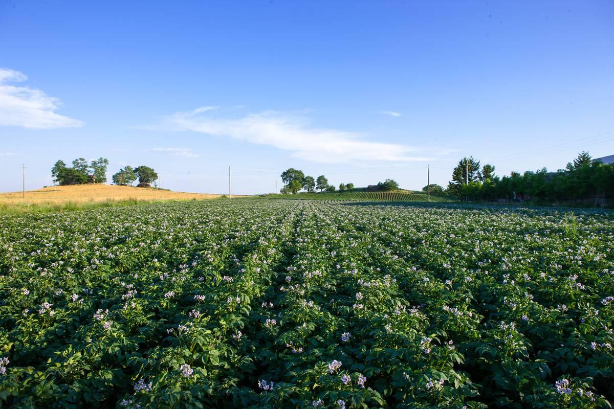 coltivazione terreno per fagiolo purgatorio crema